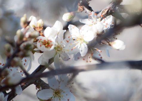 Primavera en el Pirineo, la flor del pacharán
