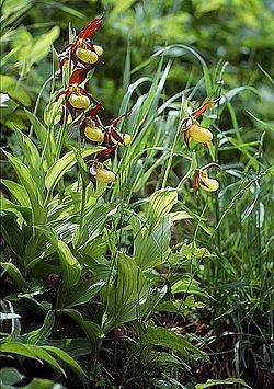 Orquideas en el Valle de Tena